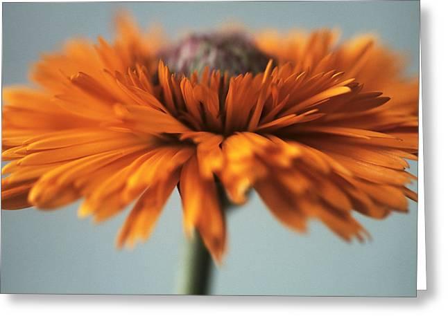 Tincture Greeting Cards - Marigold (calendula Officinalis) Greeting Card by Cristina Pedrazzini