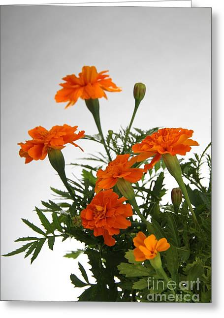 Magnoliopsida Greeting Cards - Marigolds Greeting Card by Photo Researchers, Inc.