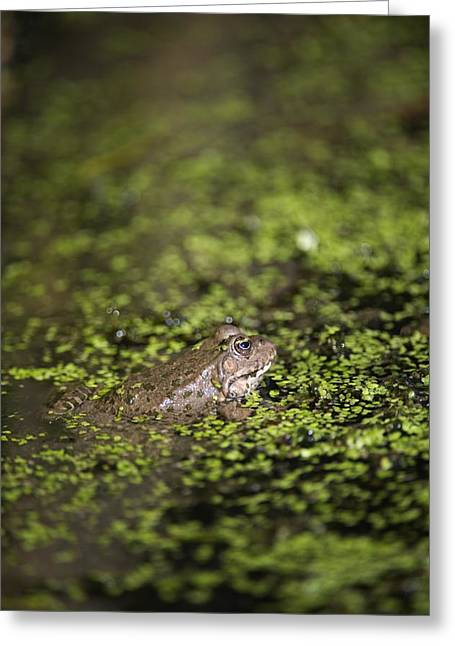 Marsh Frog Greeting Card by Louise Murray