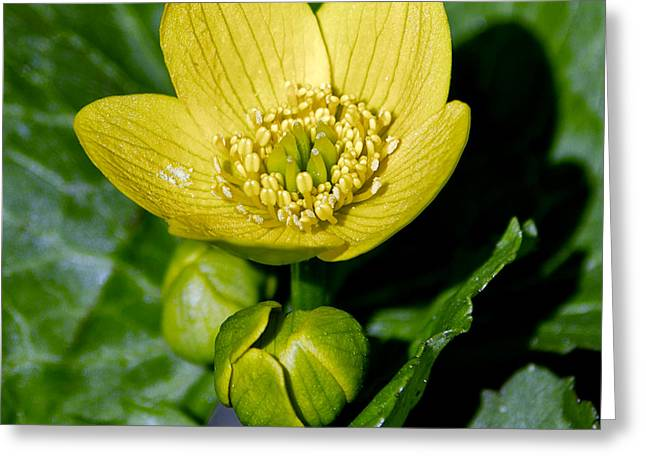 Wild Orchards Greeting Cards - Marsh Marigold Greeting Card by LeeAnn McLaneGoetz McLaneGoetzStudioLLCcom