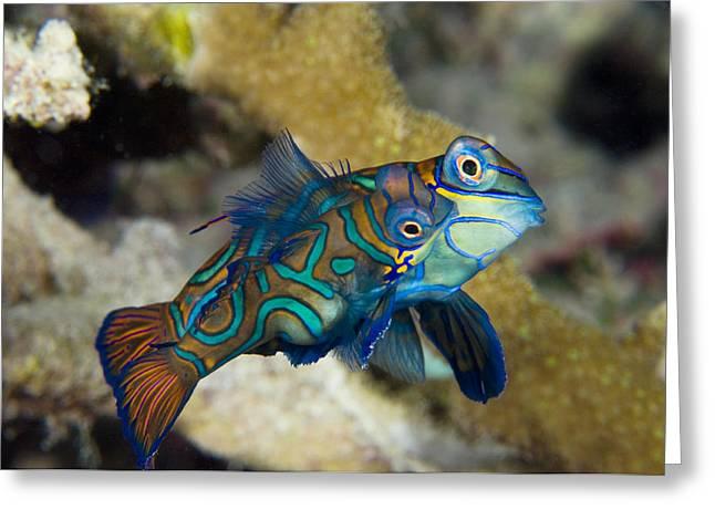 Aquatic Display Greeting Cards - Mating Mandarinfish Greeting Card by Matthew Oldfield