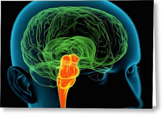 Reflex Greeting Cards - Medulla Oblongata In The Brain, Artwork Greeting Card by Roger Harris