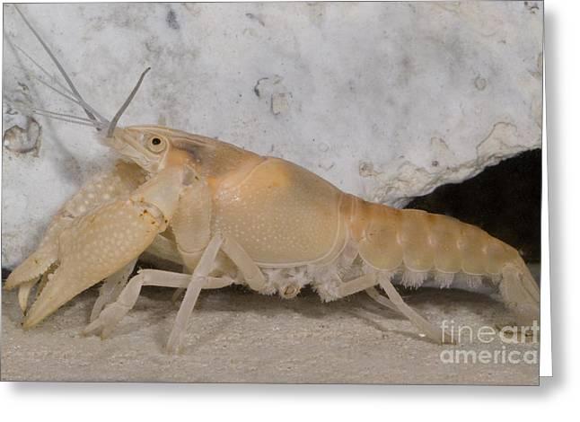 Troglobitic Greeting Cards - Miami Cave Crayfish Greeting Card by Dante Fenolio
