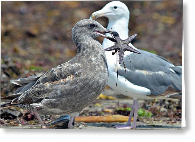 Seagull With Starfish Greeting Cards - Mine Mine Mine Greeting Card by Fraida Gutovich