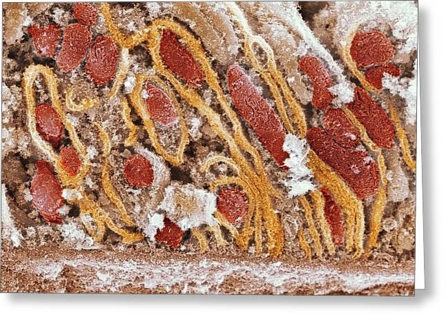 Mitochondrion Greeting Cards - Mitochondria, Sem Greeting Card by Dr David Furness, Keele University