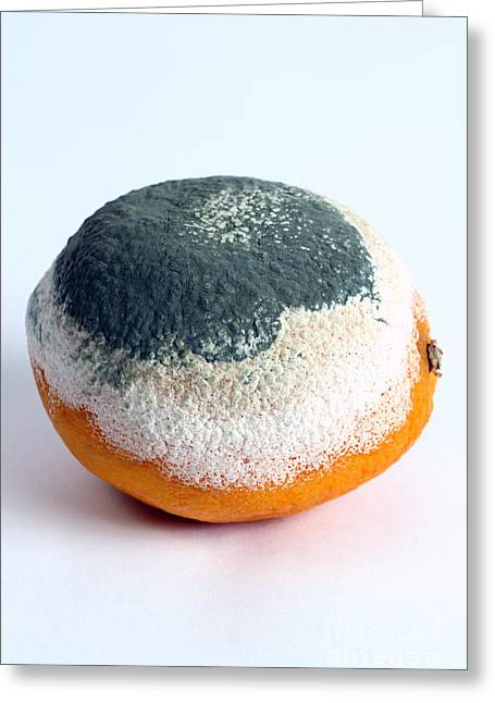 Microbiology Greeting Cards - Moldy Orange Greeting Card by Photo Researchers, Inc.