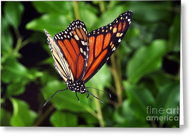 Butterfly In Flight Greeting Cards - Monarch Butterfly In Flight Greeting Card by Ted Kinsman