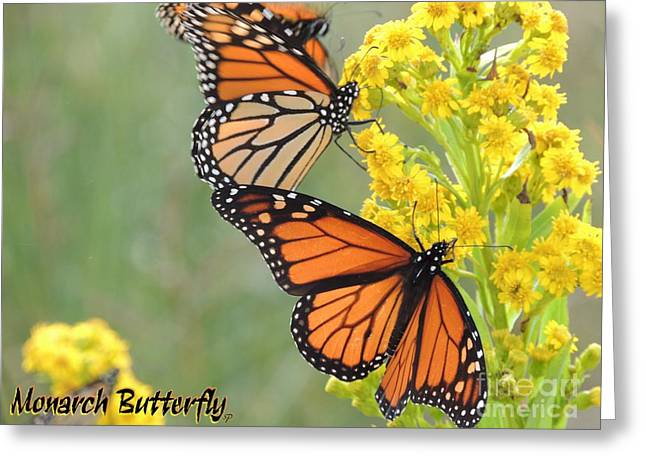 Monarch Butterfly Greeting Card by Laurence Oliver