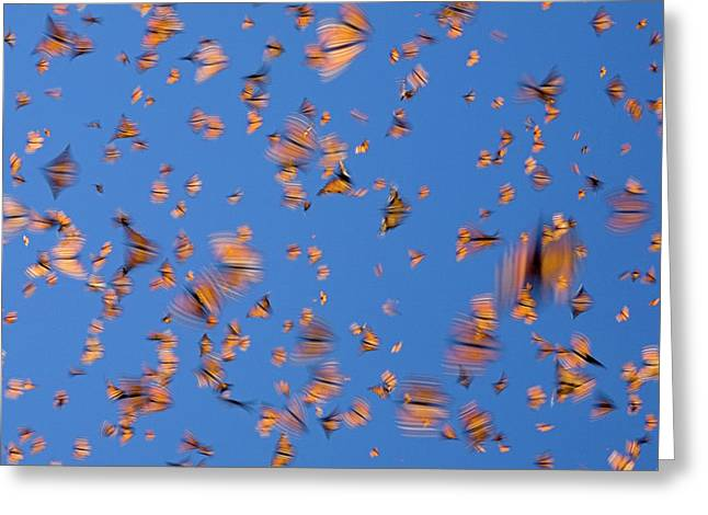 Butterfly In Motion Greeting Cards - Monarch Danaus Plexippus Butterflies Greeting Card by Ingo Arndt