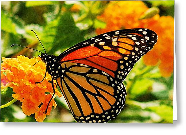 Buterfly Greeting Cards - Monarch Greeting Card by Michael Peychich