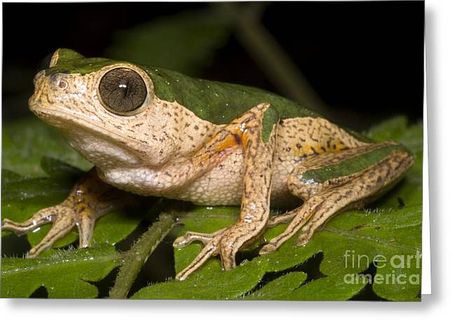 Tree Frog Greeting Cards - Monkey Frog Greeting Card by Dante Fenolio