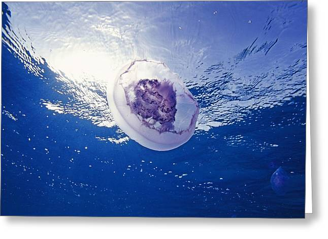 Moon Jellyfish Greeting Cards - Moon Jellyfish Greeting Card by Alexis Rosenfeld