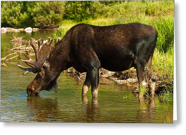 Grand Teton Photographs Greeting Cards - Moose Greeting Card by Sebastian Musial