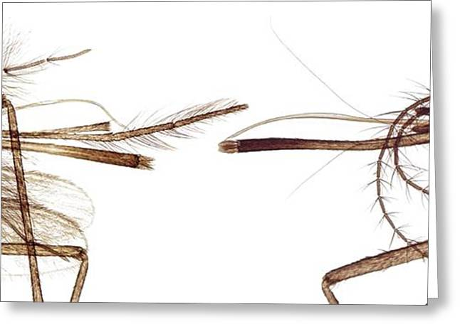 Pairs Greeting Cards - Mosquito Heads, Light Micrograph Greeting Card by Steve Gschmeissner