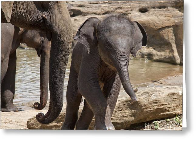Sri Lanka Greeting Cards - Mother and baby Greeting Card by Jane Rix
