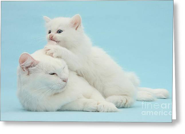Playful Kitten Greeting Cards - Mother Cat With Kitten Greeting Card by Mark Taylor