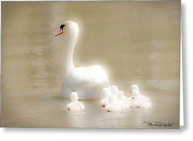 Ohio Pyrography Greeting Cards - Mother Swan and her Cygnets Greeting Card by Shirley Tinkham