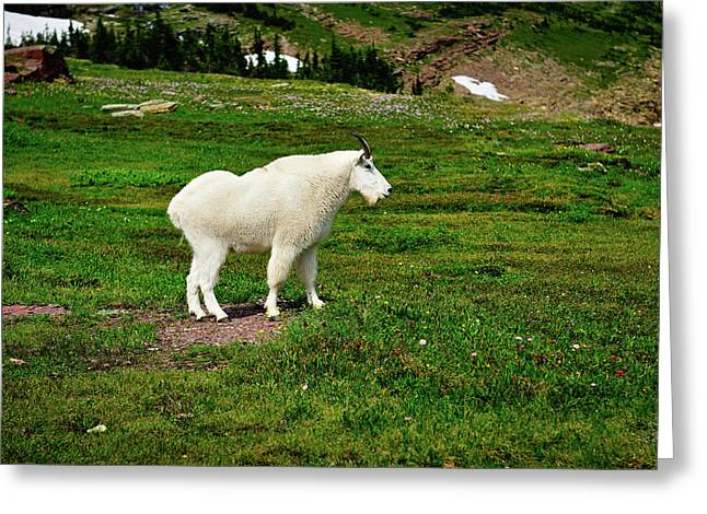 Glacier National Park Greeting Cards - Mountain Goat Greeting Card by Greg Norrell