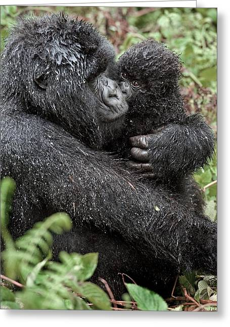 Parental Care Greeting Cards - Mountain Gorilla And Infant Greeting Card by Tony Camacho