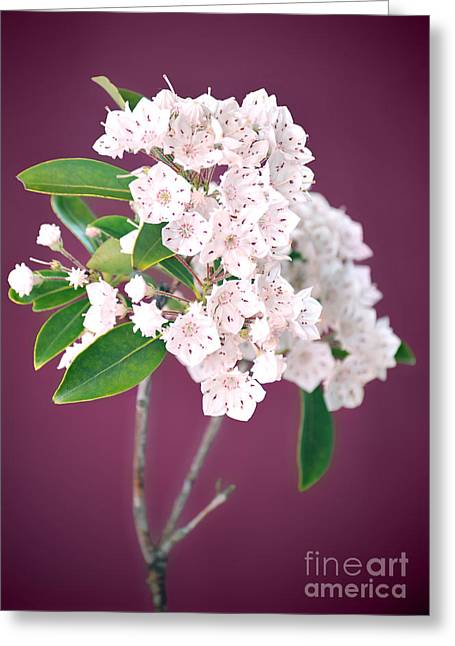 Pink Blossoms Greeting Cards - Mountain Laurel Greeting Card by HD Connelly