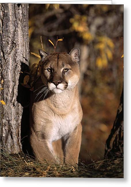 Red Tiger Greeting Cards - Mountain Lion Greeting Card by Natural Selection David Ponton