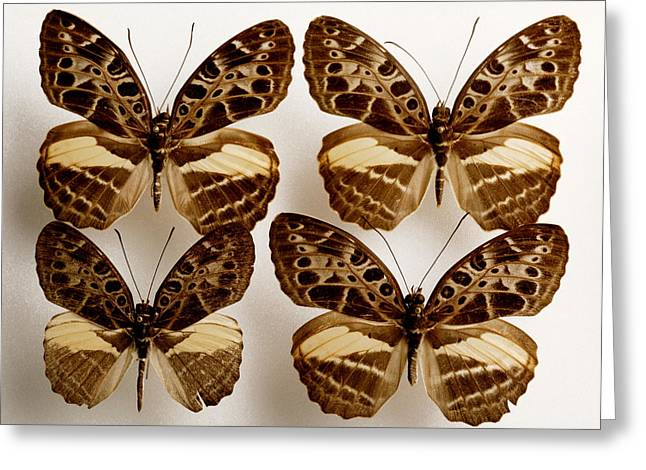 Quartet Greeting Cards - Mounted Butterflies Greeting Card by Mauro Fermariello