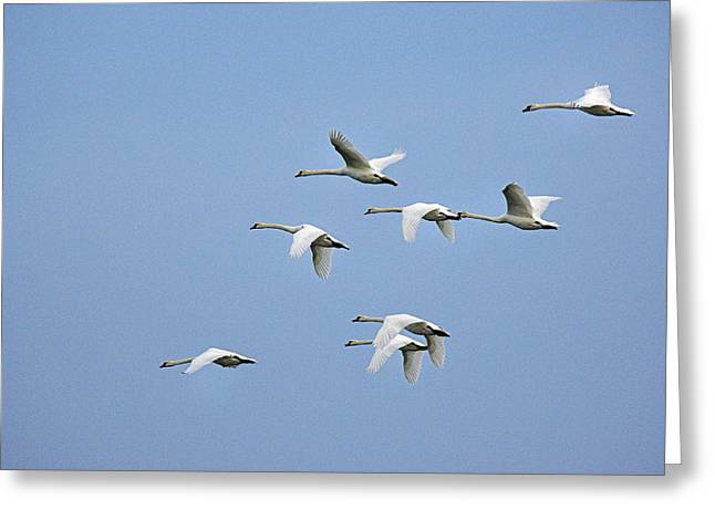 Flying Mute Swan Greeting Cards - Mute Swans Greeting Card by Duncan Shaw