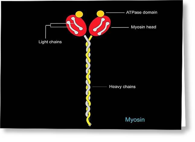 Myosin Structure, Artwork Greeting Card by Francis Leroy, Biocosmos