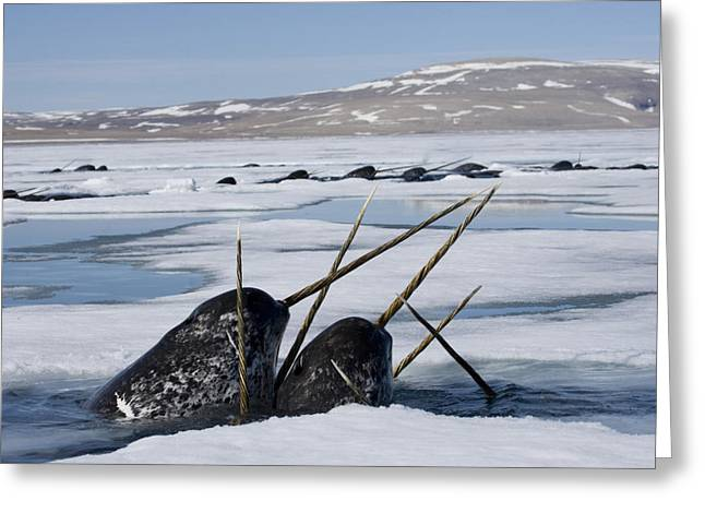 Narwhal Greeting Cards - Narwhals Come Up In Seal Holes Greeting Card by Paul Nicklen