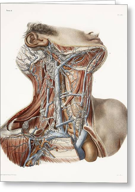 Vol Greeting Cards - Neck Anatomy, 19th Century Artwork Greeting Card by