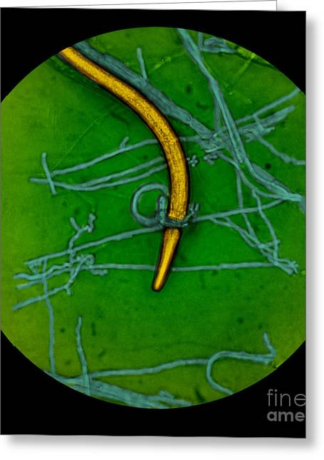 Constricting Greeting Cards - Nematode Snared By Predatory Fungus Lm Greeting Card by Photo Researchers, Inc.