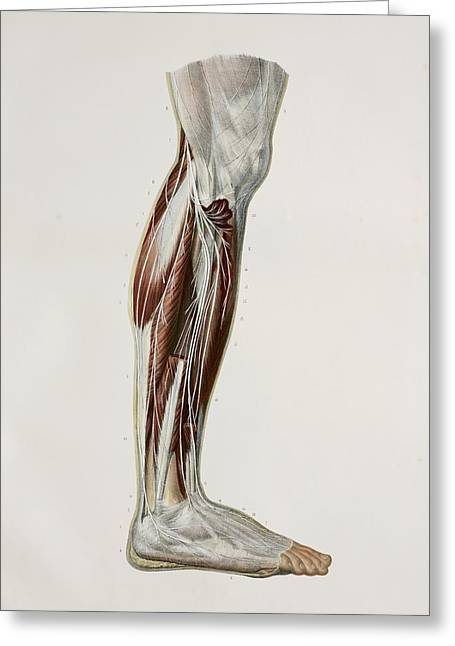 Tibial Nerve Greeting Cards - Nerves Of The Lower Leg, 1844 Artwork Greeting Card by