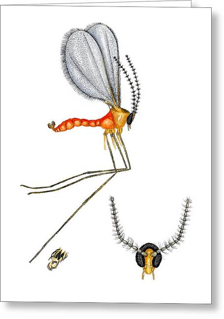 Midge Greeting Cards - Nettle Gall Midge Greeting Card by Dr Keith Wheeler