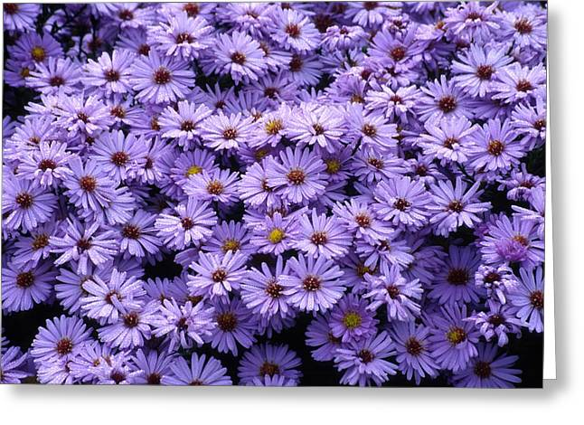 Asters Greeting Cards - New York Aster Flowers (aster Sp.) Greeting Card by Dr. Nick Kurzenko