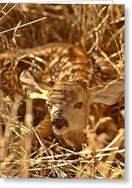Newly Greeting Cards - Newly born fawn hiding in a Saskatchewan field Greeting Card by Mark Duffy