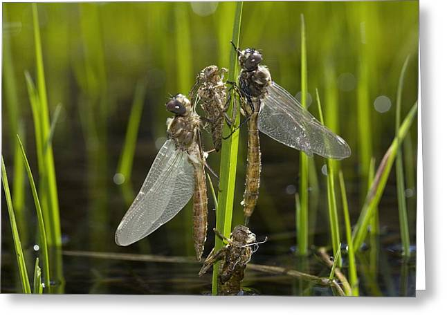 Newly Greeting Cards - Newly-emerged Dragonflies Greeting Card by Bob Gibbons
