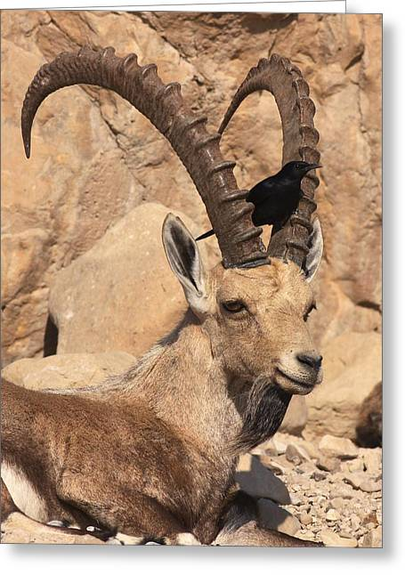 Judea Greeting Cards - Nubian Ibex And Tristrams Starling Greeting Card by Photostock-israel