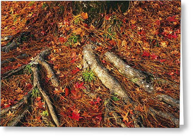 Oak Tree Roots And Pine Needles Greeting Card by Raymond Gehman