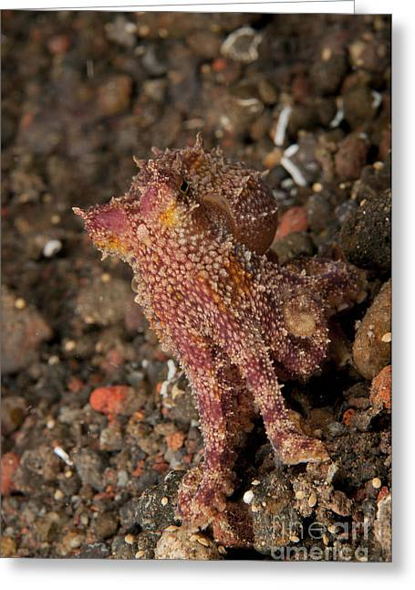 Cephalopod Greeting Cards - Ocellate Octopus With Two Blue Spots Greeting Card by Mathieu Meur