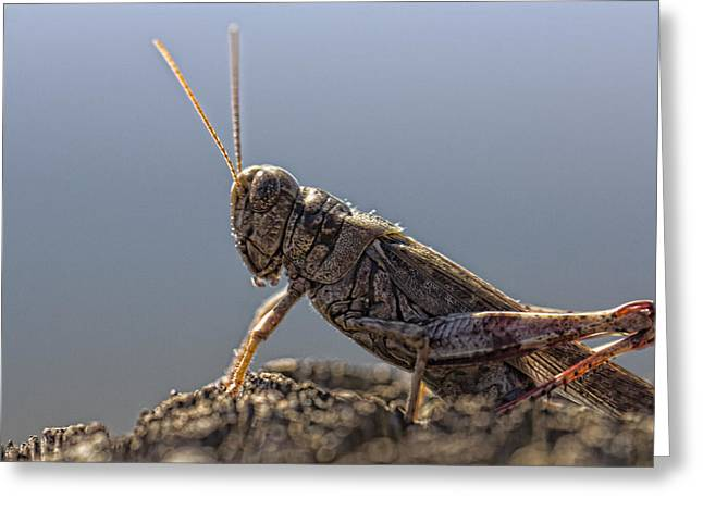Locust Greeting Cards - On the Alert Greeting Card by Douglas Barnard