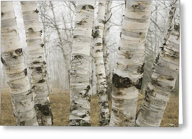 Foggy Day Greeting Cards - Ontario, Canada Birch Trees In The Fog Greeting Card by Susan Dykstra