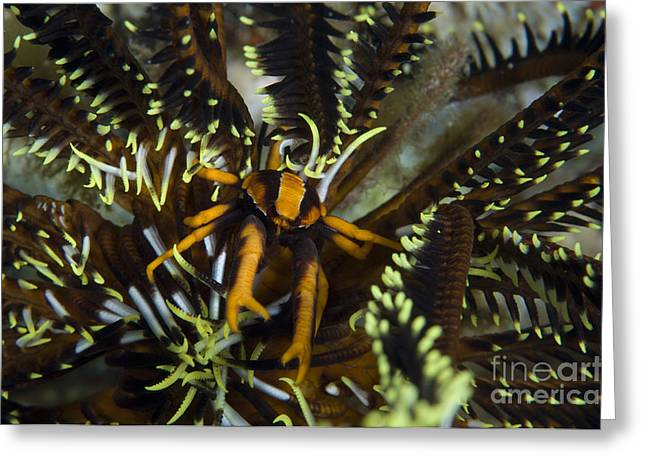 New Britain Greeting Cards - Orange And Brown Elegant Squat Lobster Greeting Card by Steve Jones
