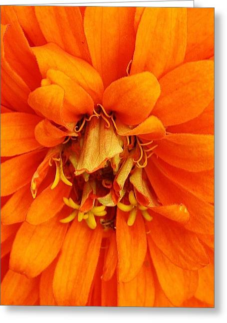 Zinna Greeting Cards - Orange Splendor Greeting Card by Bruce Bley
