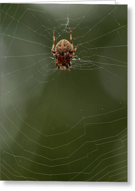 Creepy Crawly Greeting Cards - Orb weaving spider on web with green background Greeting Card by Adam Long