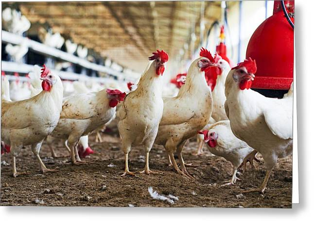 Chicken Laying Eggs Greeting Cards - Organic Chicken Farming Greeting Card by Photostock-israel