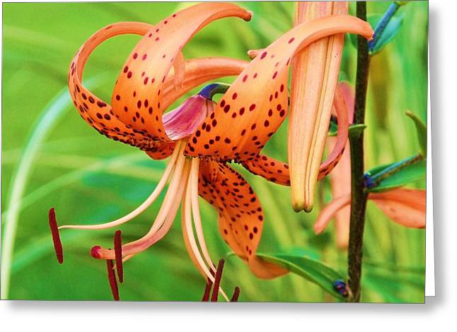 Oriental Tiger Greeting Cards - Oriental Lily 10 Greeting Card by Dave Dresser