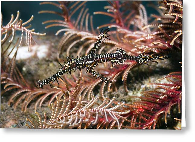 Reef Fish Greeting Cards - Ornate Ghost Pipefish Greeting Card by Georgette Douwma