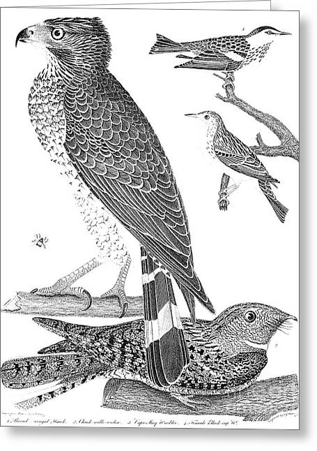 Black Widow Greeting Cards - Ornithology, 1808-1814 Greeting Card by Granger