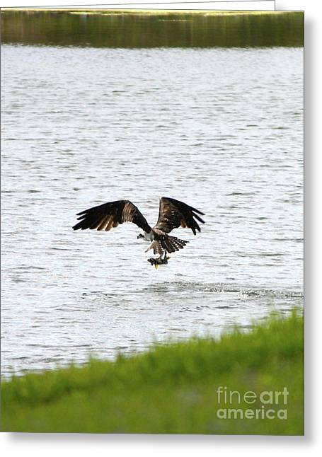 Osprey Photographs Greeting Cards - Osprey Fishing in the Afternoon Greeting Card by Carol Groenen