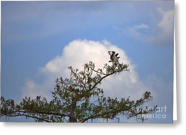 Flaring Greeting Cards - Osprey Greeting Card by Louise Heusinkveld